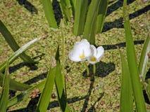 Das Teilchen ist gewöhnlich oder Aloe ähnlich Sommerblüte im Garten Stockfotografie
