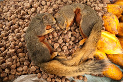 Das tote Eichhörnchen Stockfoto