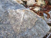 Das trockene Blatt auf dem Felsen ähnelt Trilobite Lizenzfreies Stockfoto