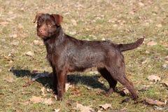 Patterdale Terrier /Wire/ im Park Lizenzfreie Stockfotos