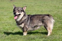 Das typische Schwede Vallhund im Garten lizenzfreies stockfoto