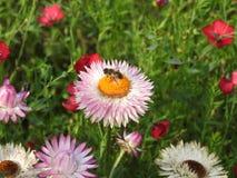 Das unsterbliche Rosa mit einer Biene Stockfotos