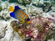 Das Unterwasserfoto mit einem bunten Engelsfisch lizenzfreie stockbilder