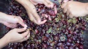 Das uvas dos frutos vinho em casa que processa o esmagamento completo do fruto com muitas mãos fêmeas novas filme