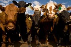Das vacas fim acima e pessoal Foto de Stock Royalty Free