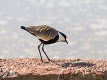 Das Vanellus Spurst Chibis spinosus geht entlang den Damm des Teichs und sucht nach Lebensmittel Stockbilder
