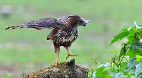 Das veränderbare FalkeEagle oder cirrhatus FalkeEagles Nisaetus mit Haube Lizenzfreies Stockfoto