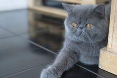 Das Verhalten der persischen Katze aus den Grund Stockbild