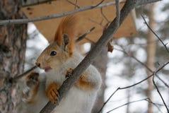 Das verkratzende Eichhörnchen auf einem Baum Stockfotografie