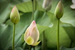 Das Versprechen der Schönheit versteckt in den mitfühlenden Hochblättern stockfoto