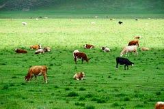 Das Vieh in der grünen Steppe Lizenzfreie Stockbilder