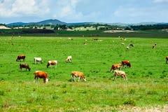 Das Vieh in der Sommersteppe Lizenzfreies Stockbild