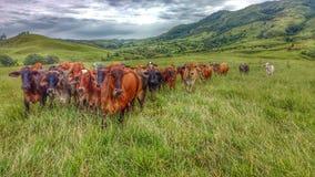 Das Vieh nähert sich Lizenzfreie Stockfotografie