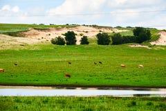 Das Vieh und der Fluss auf der Wiese Lizenzfreie Stockfotografie