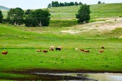 Das Vieh und die Bäume auf der Wiese Stockfotografie