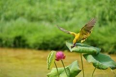 Das Vogelopfer im schönen Lotosbusch lizenzfreie stockfotos