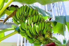 Das Wachsen auf der Niederlassung sind nicht noch reife Bananen Stockfotografie