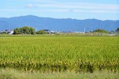 Das Wachstum der Reispflanze Stockbild