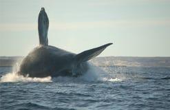 Das Walspringen Stockfotografie