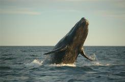 Das Walspringen Stockbild