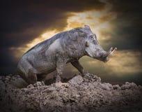 Das Warzenschwein Lizenzfreie Stockfotos
