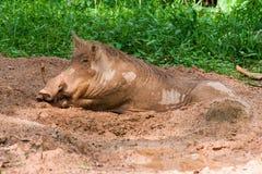 Das Warzenschwein liegt im Schlamm Lizenzfreie Stockfotos