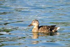 In das Wasser eine Ente schwimmen Stockfotografie