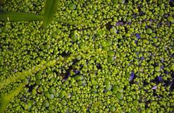 Das Wasser im Teich wird mit Entengrütze bedeckt Stockfotografie