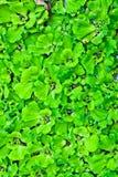 Das Wasser-Kopfsalat-Feld Stockfotos