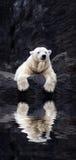 Das Weiß betrifft die Felsen, Lügeneisbären aufgestellt auf einem Felsen stockbild