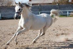 Das weiße Pferd Stockfotografie