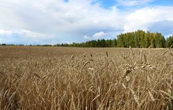 Das Weizenfeld Lizenzfreies Stockfoto