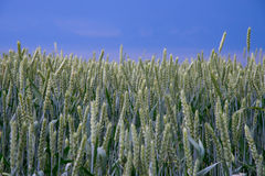Das Weizenfeld Lizenzfreies Stockbild