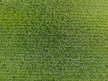 Das Weizenfeld ist grün Junger Weizen auf dem Feld Ansicht von oben Struktureller Hintergrund des grünen Weizens Grünes Gras Stockfoto