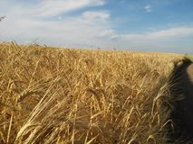 Das Weizenfeld in Ukraine Stockfotografie
