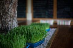 Das Weizengras im Plastiktopf auf den weißen Steinen, auf einem Caféinnenraum backgraund Stockfoto
