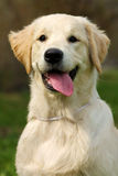 Das Welpe golden retriever Stockbild