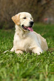 Das Welpe golden retriever Stockfotos