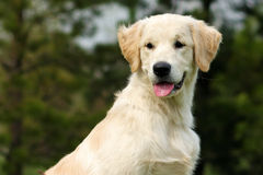 Das Welpe golden retriever Stockfoto
