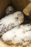 Das wenig budgie ist im Nest Stockbild
