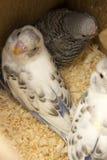 Das wenig budgie ist im Nest Stockfotos