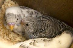 Das wenig budgie ist im Nest Stockfoto