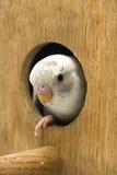 Das wenig budgie ist Schauen des Nestes Lizenzfreie Stockbilder