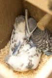 Das wenig budgie wird im Nest erschrocken Stockfotos