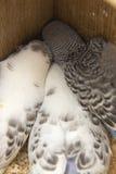 Das wenig budgie wird im Nest erschrocken Stockfoto