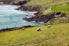 Das Wesentliche von Irland mit Schafen und blühenden Landschaften Lizenzfreies Stockfoto