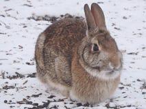 Das wilde Häschen, das unter einem birdfeeder und dem Boden isst, wird im Schnee bedeckt! stockbild