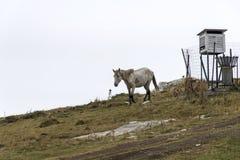 Das wilde Pferd auf der Gebirgswiese im Nebel lizenzfreie stockbilder