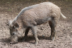 Das wilde Schwein Stockfoto