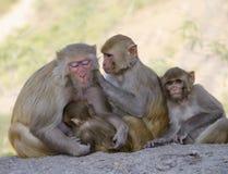 Das wilde Tier ein Affe ein Makaken in Indien Lizenzfreie Stockfotos